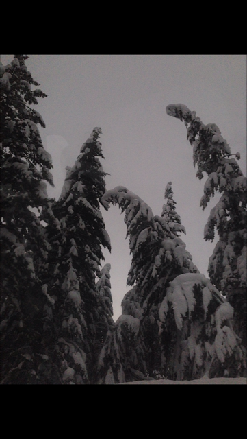 Some pine trees in the snow at Claire's cabin in Montana over Winter break.