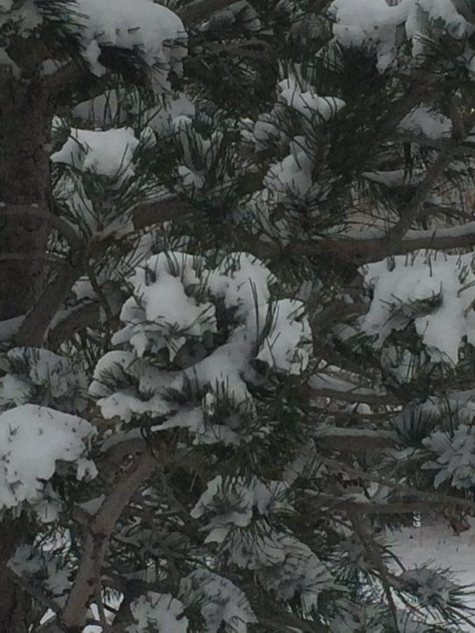 Pine tree with snow on it on the side of Highland Drive January 5th 2017