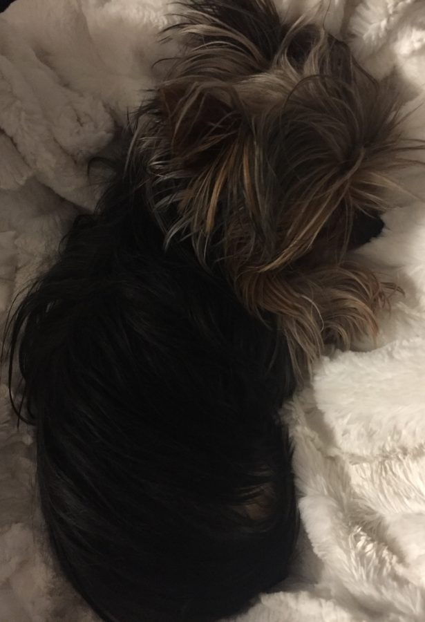 This is a picture of Bean, a miniature yorkie. Taken at Alyssa's House on January 17th.