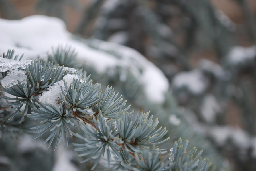 Snow covered branch. This  is an up close picture of a branch with snow on it.