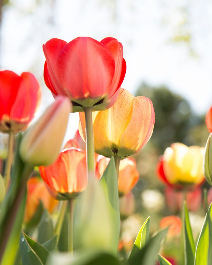 These are pink and yellow tulips found at the Tulip Festival in Thanksgiving point in 2016.