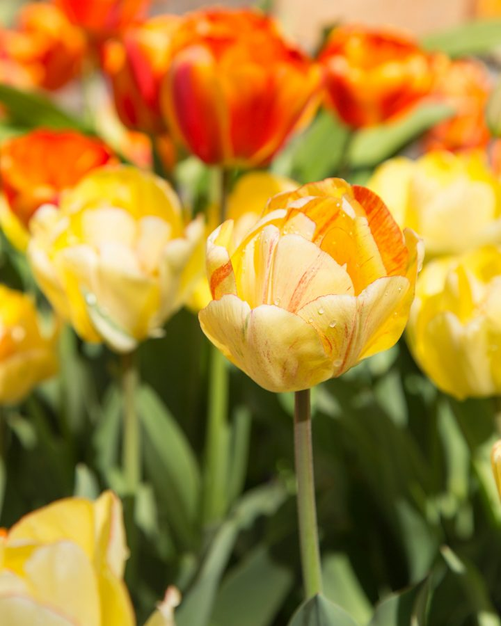 These are yellow tulips found at the tulip festival in 2016.