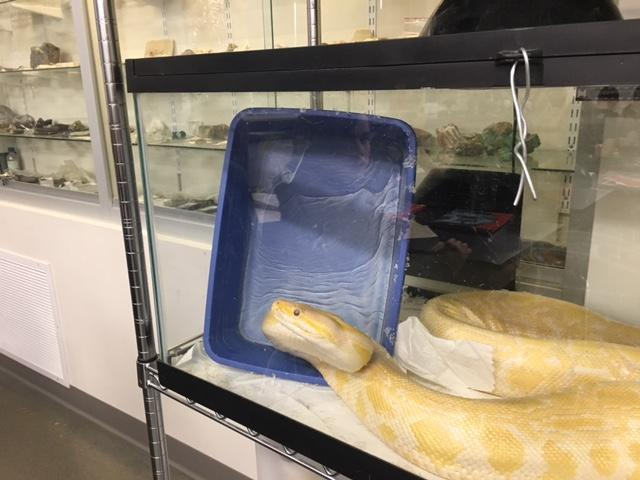 KAA stretching his neck trying to get out of glass cage on February 22, 2017