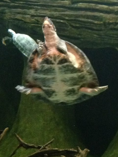 Turtles swimming in their habitat at the Loveland Living Planet Aquarium; this photo was January 14.