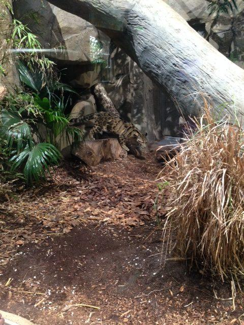 A cloud leopard is walking around its habitat at Loveland Living Planet Aquarium; this photo was taken on January 14.