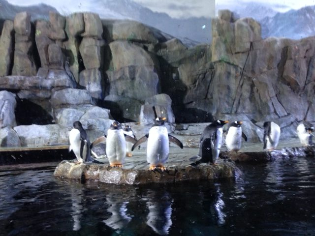 The penguins at Loveland Living Planet Aquarium are preparing to dive into the water; this photo was taken on January 14.