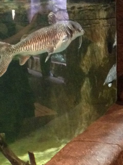 A fish is swimming in its tank at the Loveland Living Planet Aquarium; this photo was taken January 14.