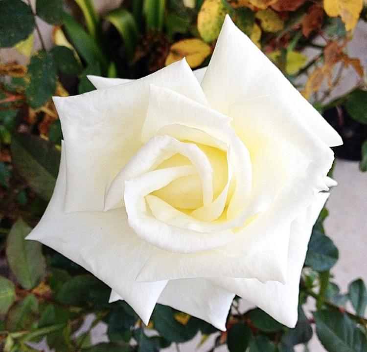 A white rose in San Diego, California, on April 5, 2015.