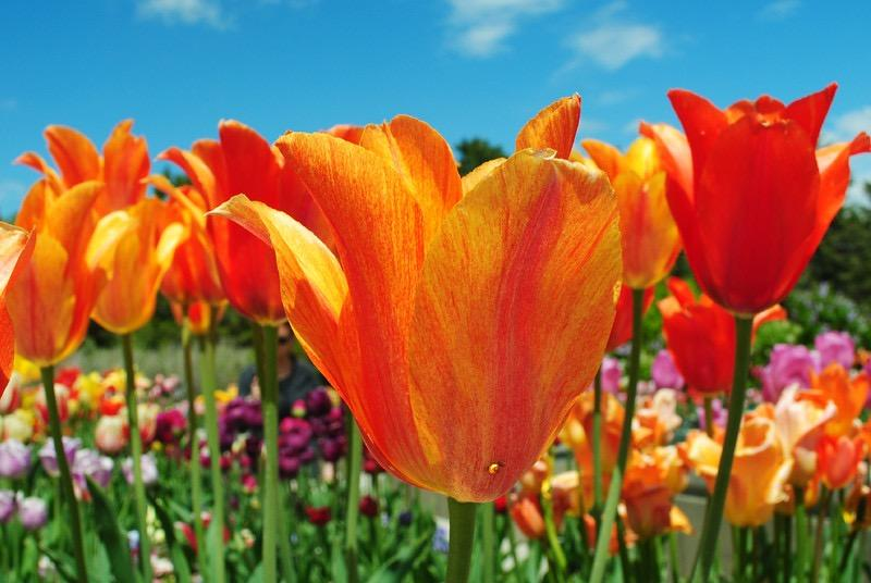This is a photo of orange tulips taken at the Tulip Festival in Thanksgiving point.