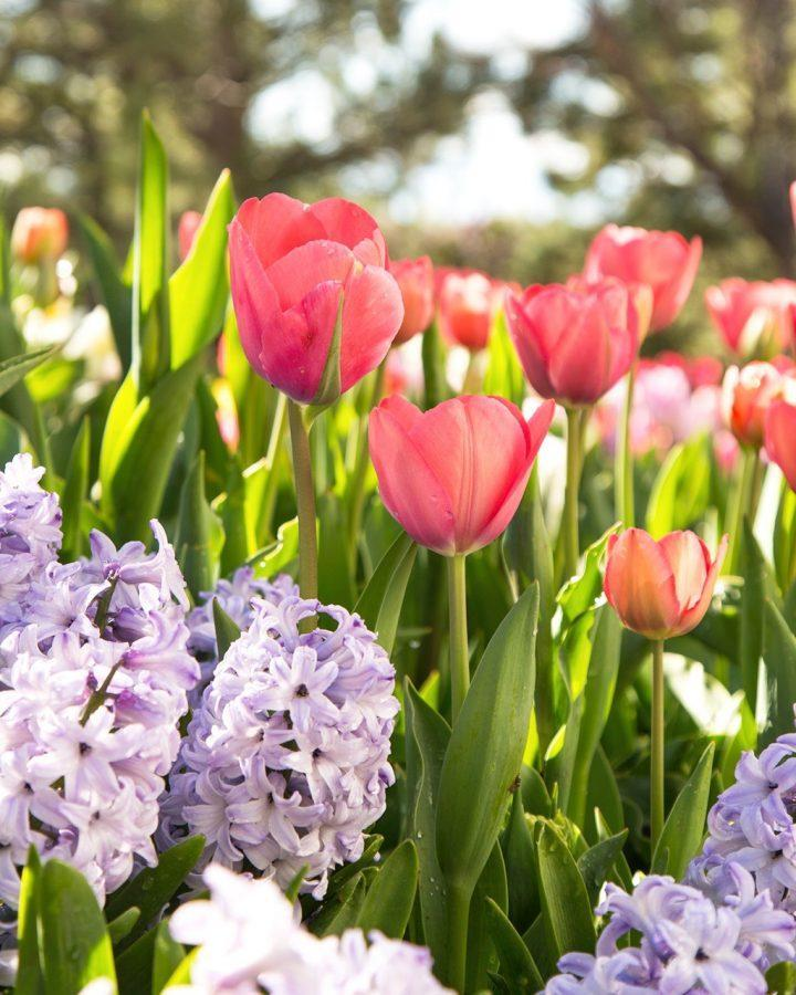 Purple and pink flowers were taken by Emily Thornton at the Tulip Festival in Thanksgiving point, Utah.