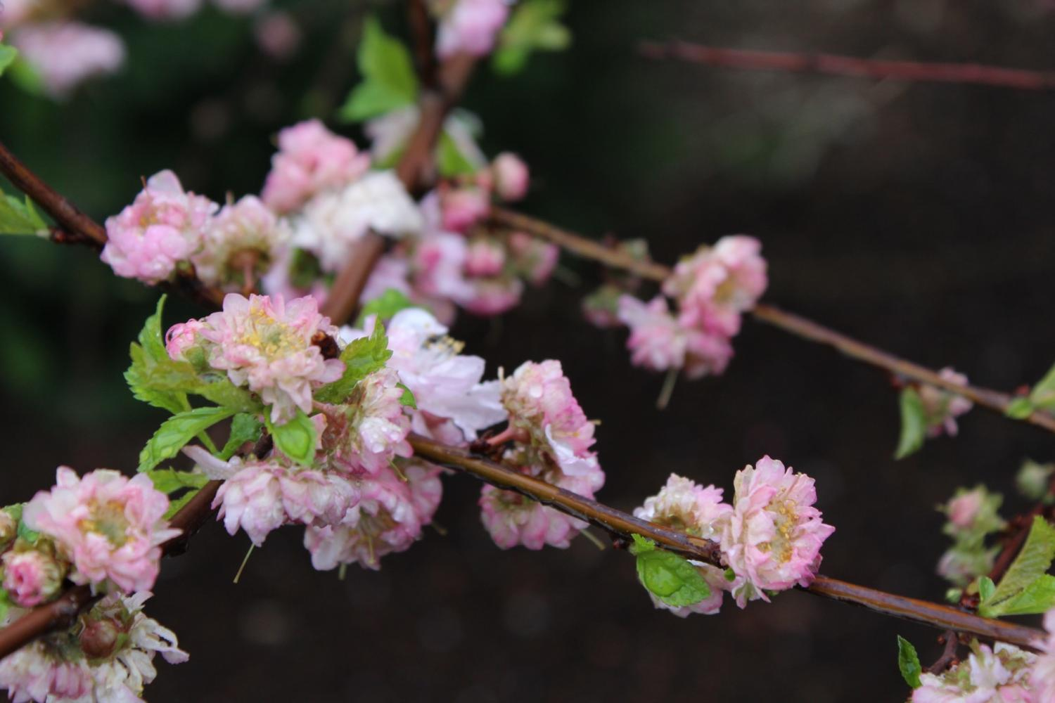 This picture is taken at the Ashton Gardens on April 16 it is a picture of a bush in bloom.